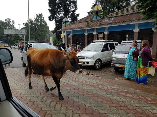 Cows own the road