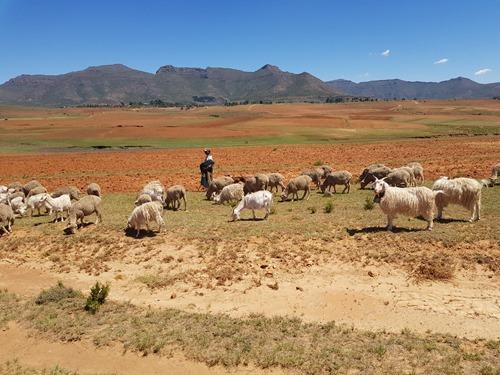 A heard of sheep with its shepherd