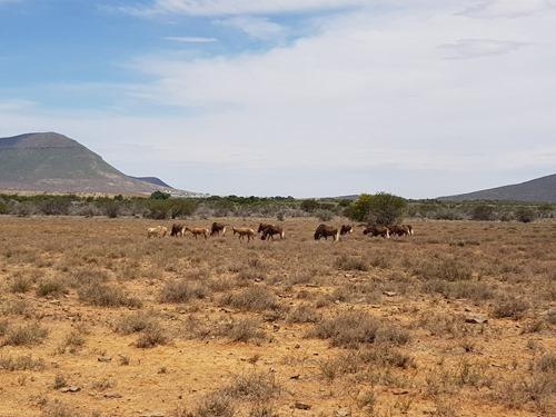Blesbok and black wildebeest