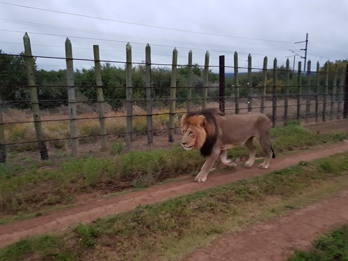 The first lion padding past