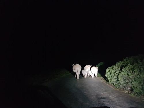Elephants by night