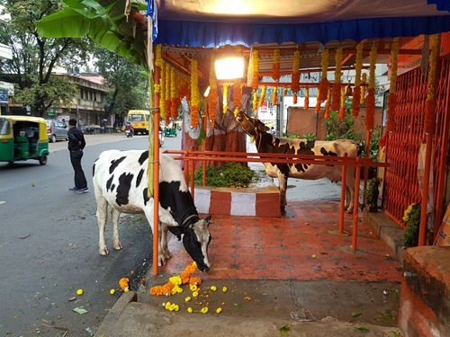 Cows eating temple flowers