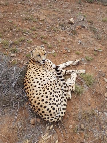A happy cheetah