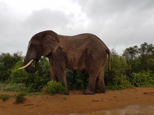 A bull elephant in the rain