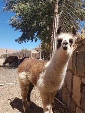A baby llama in Tilcara
