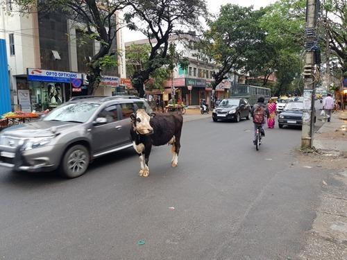 Cow negotiating traffic