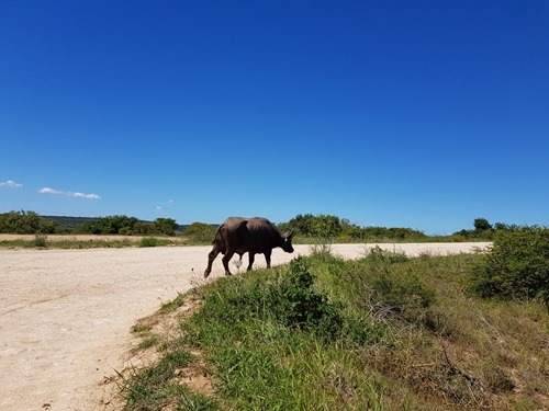 Another Cape buffalo