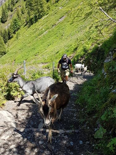 More goats